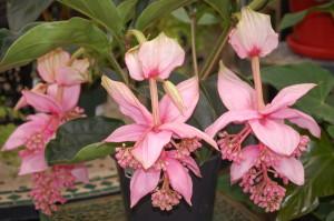 My Get Well Guru Medinilla flowers, gardening