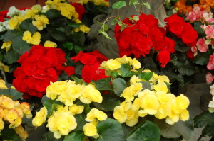 red and yellow begonias, My Get Well Guru