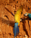 yellow and blue parrots eating clay on a clay cliff