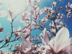 Jane Magnolia blossoms in Spring